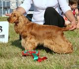 Anglų kokerspanielių šuniukai su kilmės dokumentai