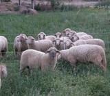 Vokietijos mesiniu merinosu avytes ir avinukai