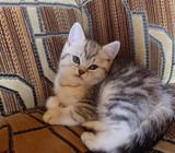 Britukai - Silver tabby - Dar Turime Du Kačiukus